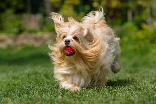 Havanese dog playing fetch