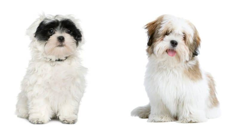 Havanese vs Lhasa Apso (Top Apartment Dog Breeds!)