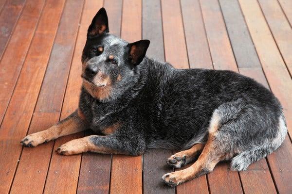 Australian Cattle dog at home