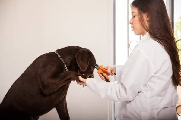 Woman cutting thick nails of a brown dog