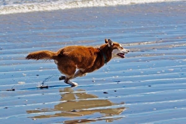 Siberian husky running