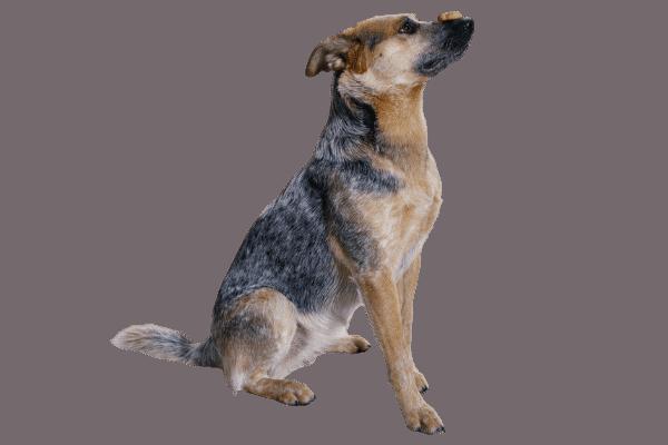 Australian Cattle dog balancing dry kibble on nose