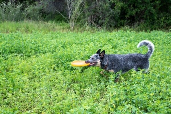 Adorable australian cattle dog playing on grass