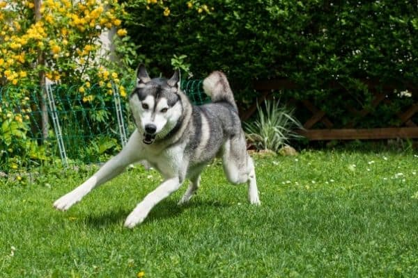 Siberian husky playing in the garden