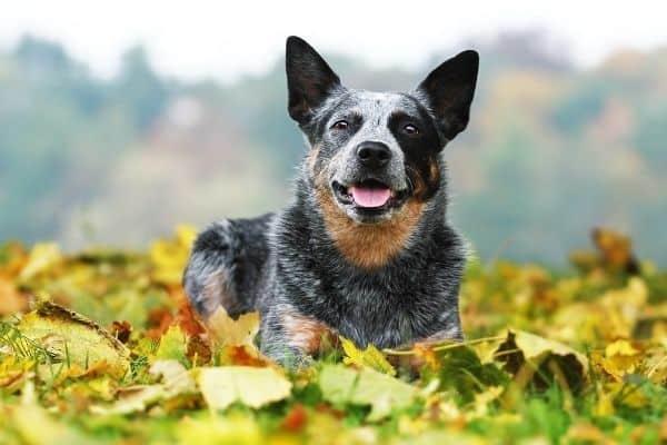 Australian Cattle dog lying on top of leaves