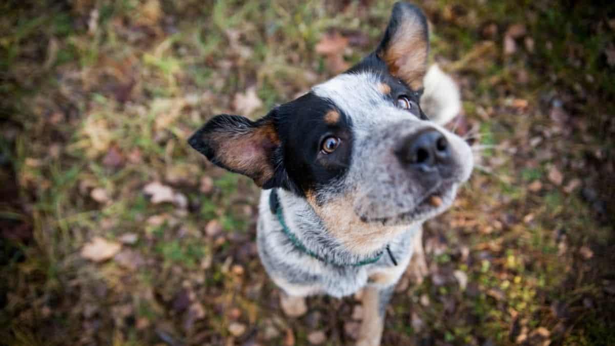 Best Dog Food for Australian Cattle Dog
