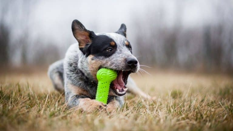 Top 6 Best Toys for Australian Cattle Dogs [currentyear]