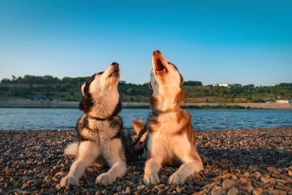 Howling siberian huskies