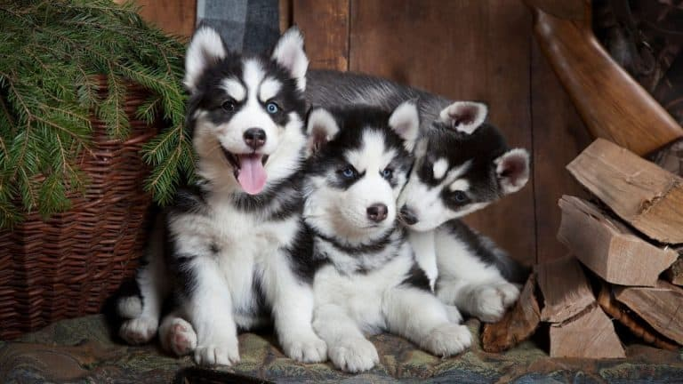 Best Training Collar for Siberian Husky [Top 6 for 2021]