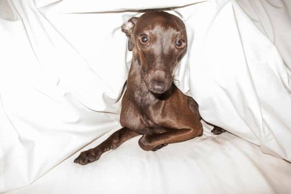 Best Dog Bed for Greyhounds