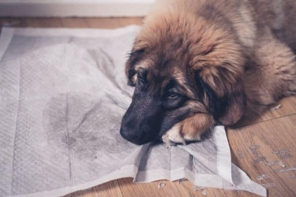 Best Dog Urine Remover