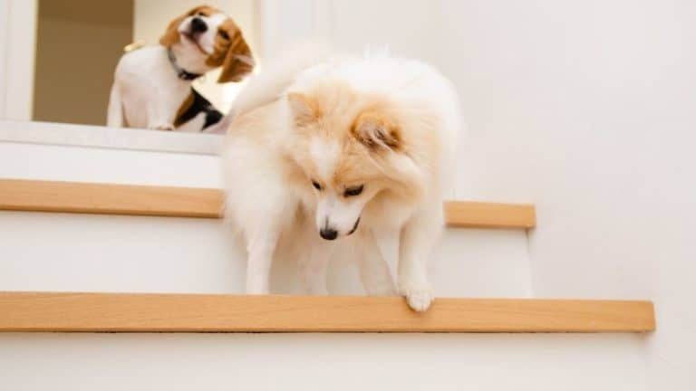 Best Dog Stairs and Ramps 2021 – Top 11 Picks Reviewed