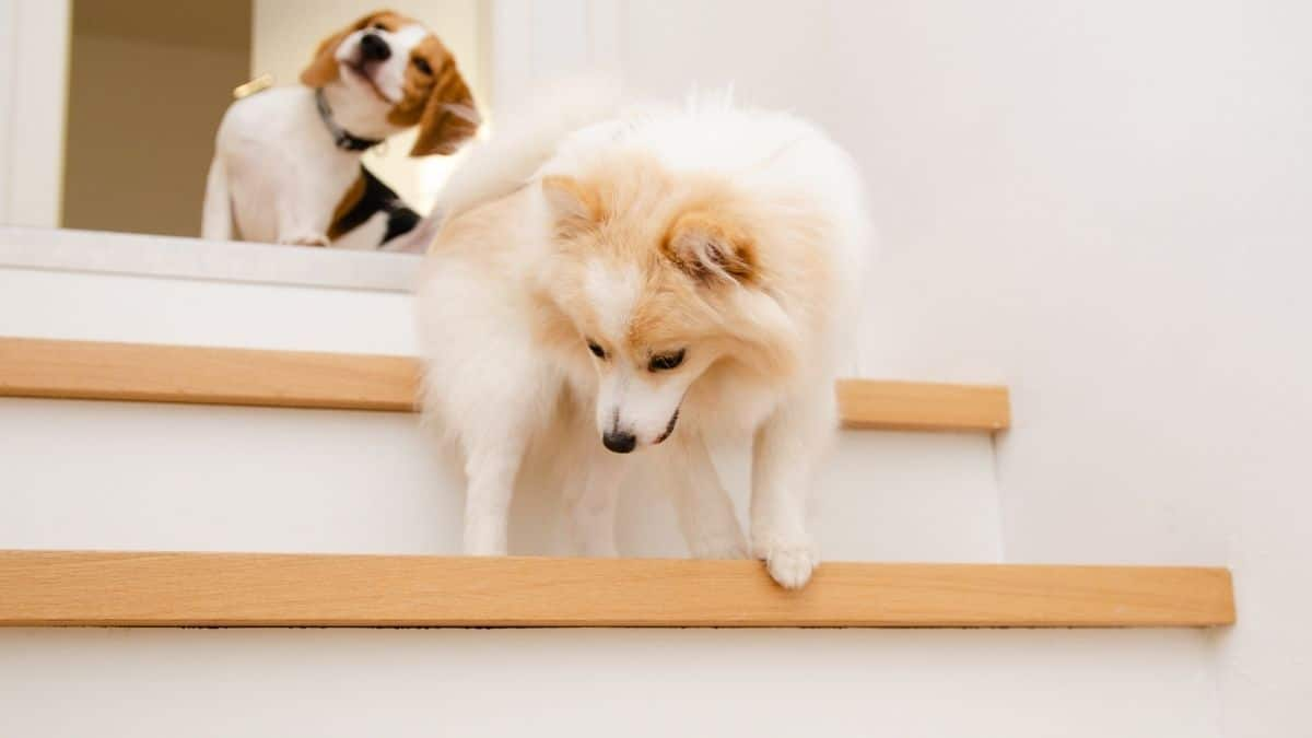 Best Dog Stairs and Ramps