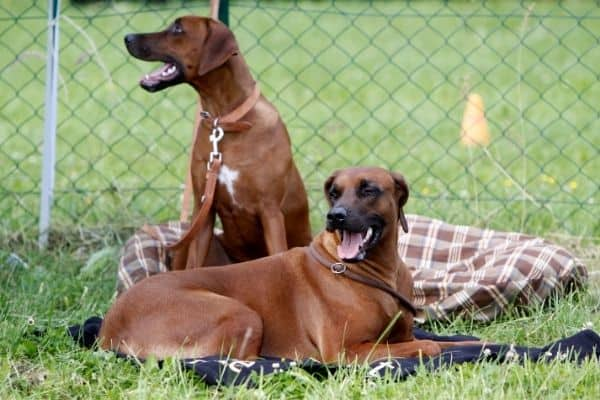 Two Rhodesian Ridgeback outdoors