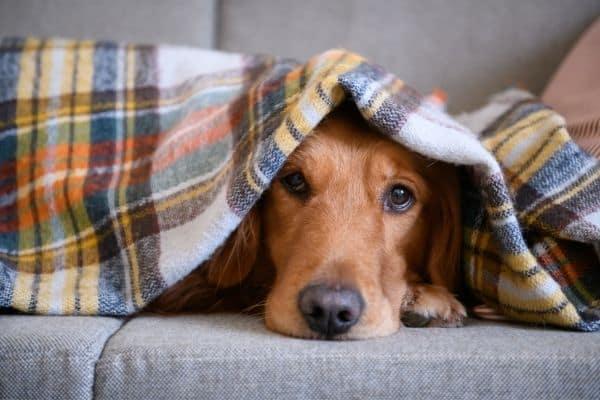 Best Golden Retriever dog bed