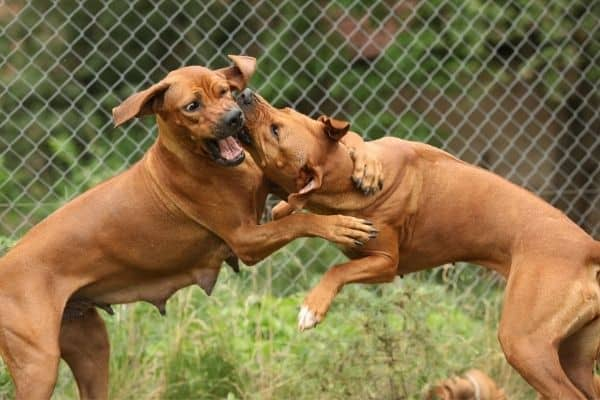 Two Rhodesian Ridgeback playing outside
