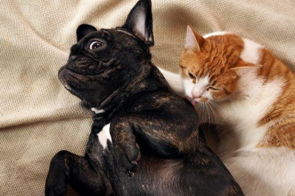 Cat licking dog