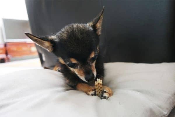 A small dog eating dental chews