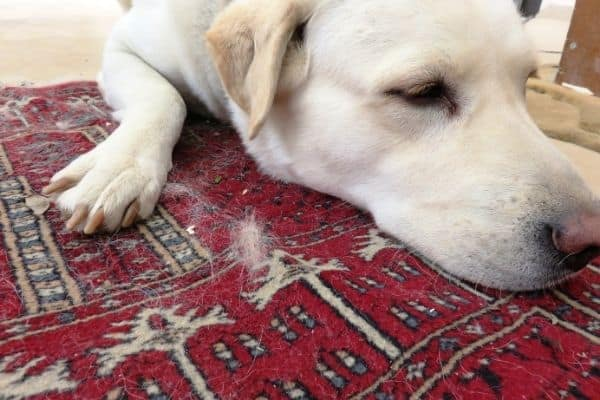 Dog on carpet filled with dog hair