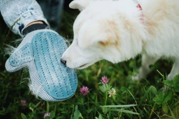 White dog looking at hair stuck in dog grooming gloves