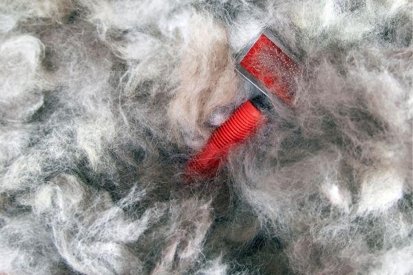 Slicker brush on top of dog coat blow