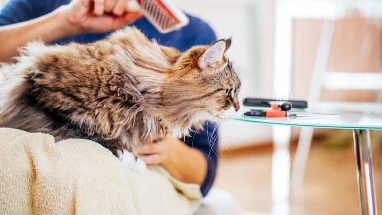 How Often Should You Groom Your Cat?