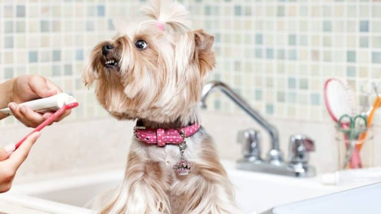 4 Tips for How To Brush Yorkies' Teeth (Without the Battles!)