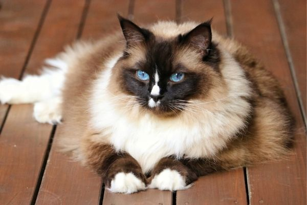 Multi-colored birman cat with blue eyes resting on wooden floor