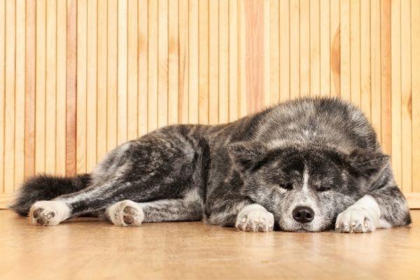 Black and white American Akita dog lying on hard wood floor