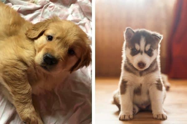 golden retriever and husky puppies