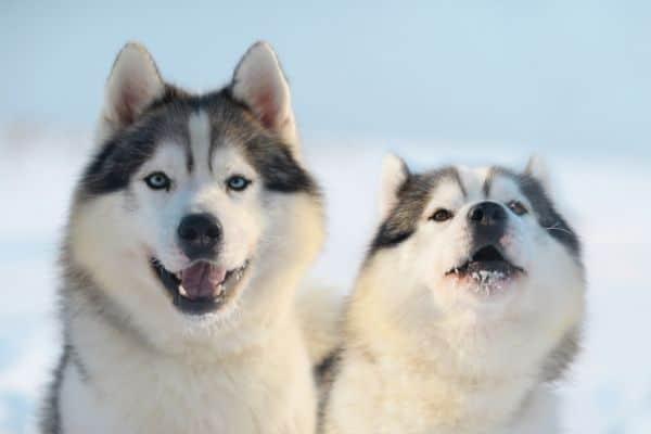 golden retriever vs siberian husky