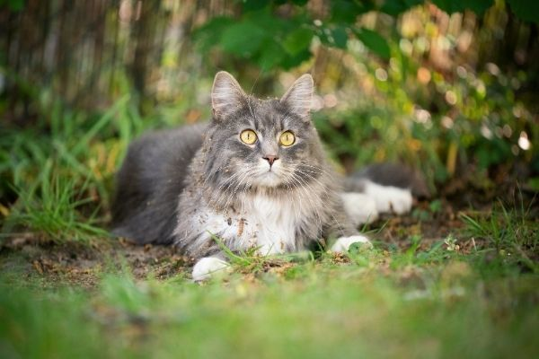 Dirty maine coon cat lying on grass