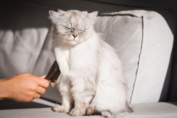 Person brushing fluffy grey long haired cat sitting on the sofa