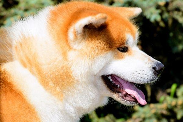 Coat of Akita dog breeds