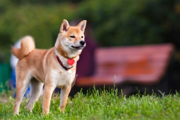 akita inu standing in grass