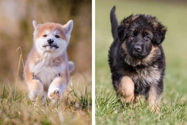 akita puppy vs german shepherd puppy