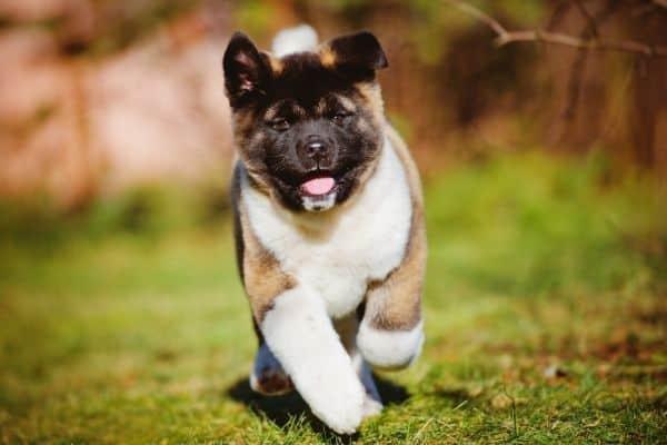 akita puppy running