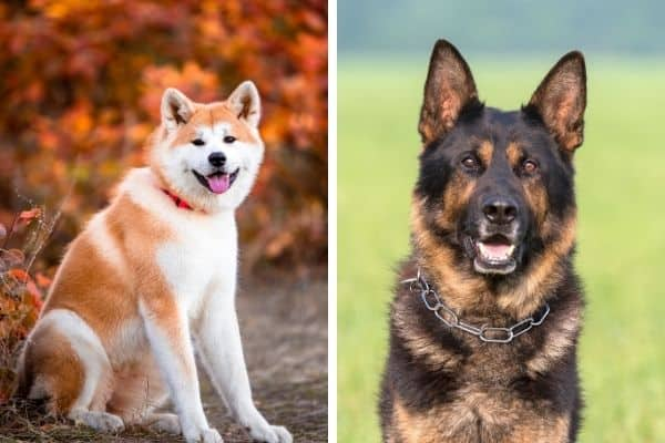 akita vs german shepherd comparison