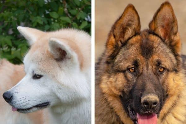 japanese akita vs german shepherd ears