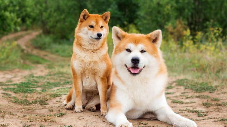 Akita Inu vs Shiba Inu: Are You Cut Out for These Dog Breeds?