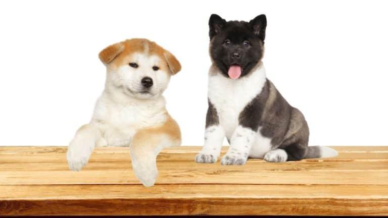 Japanese Akita vs American Akita – Which Dog Breed Would You Pick (Fox or Bear?)