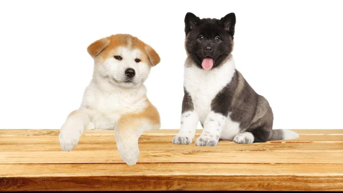 Japanese Akita vs American Akita - Which Akita Dog Breed Would You Pick?