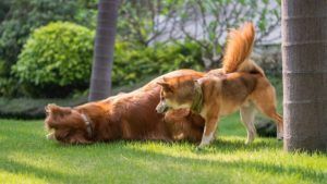 shiba inu and golden retriever