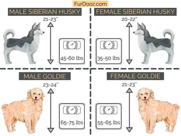 goldie vs husky