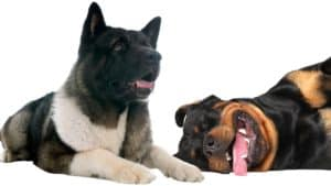 akita vs rottweiler