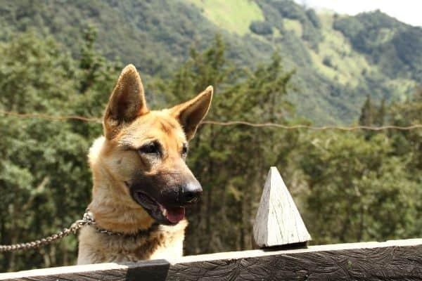 german shepherd as a guard dog outside
