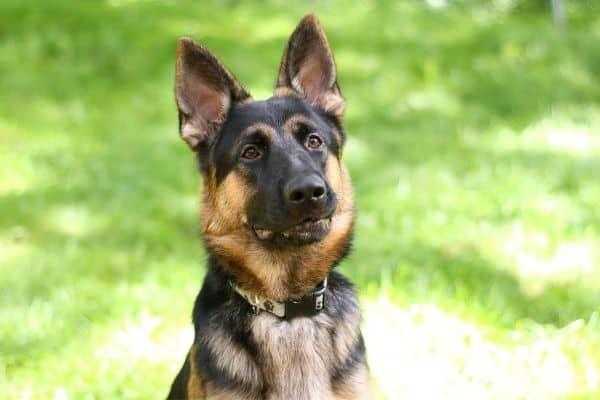ears of a german shepherd