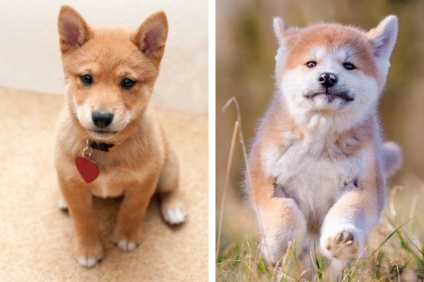 Shiba Inu Puppy vs Akita Inu Puppy