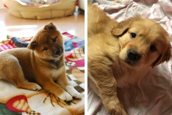 Shiba Inu Puppy vs Golden Retriever Puppy