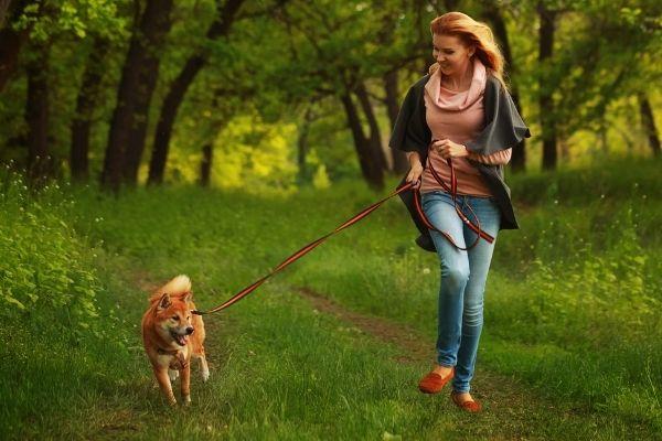 shiba inu running outdoors